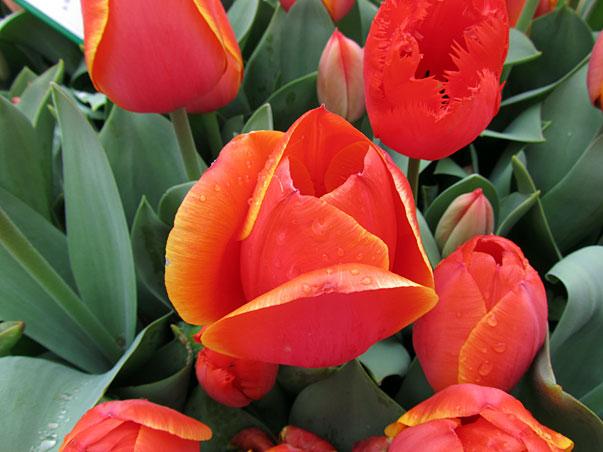 Spring tulips in Australia