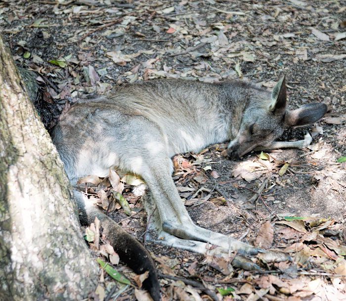 Kangaroo Having a Nap