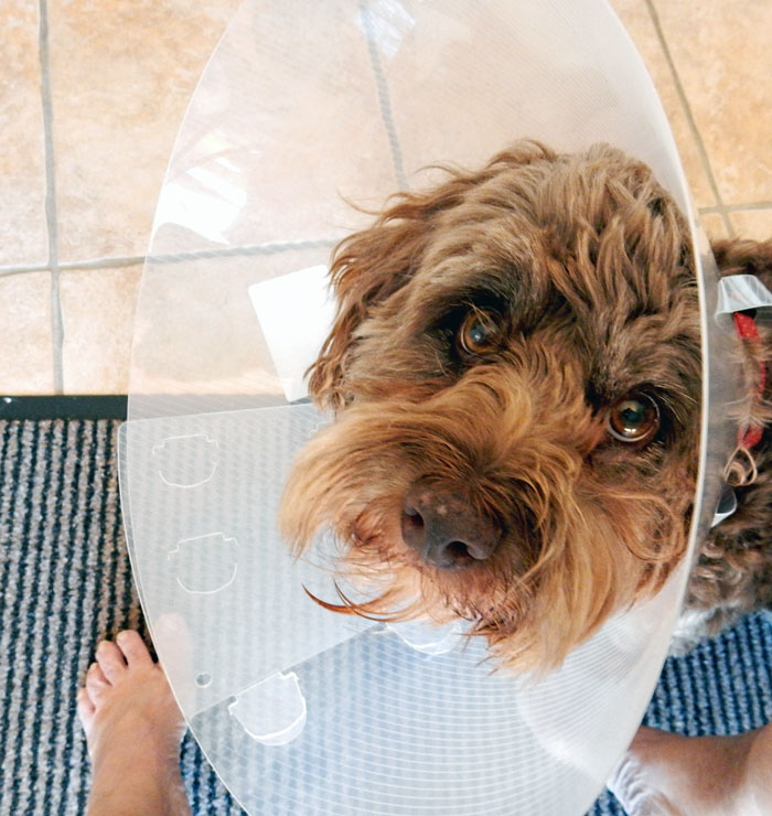 Dog with cone